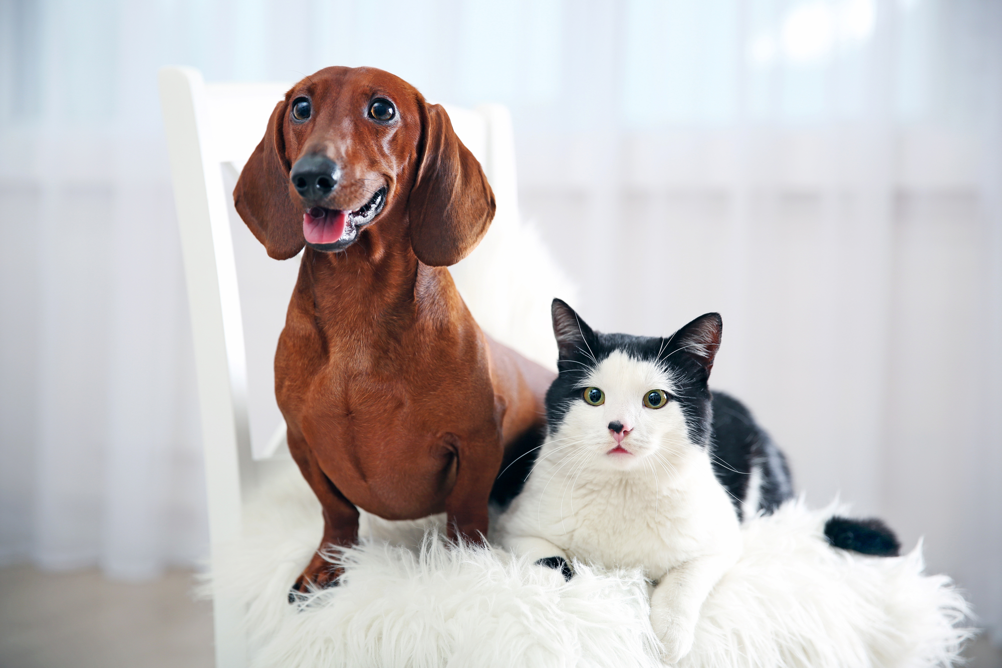 Cat And Dog On Chair