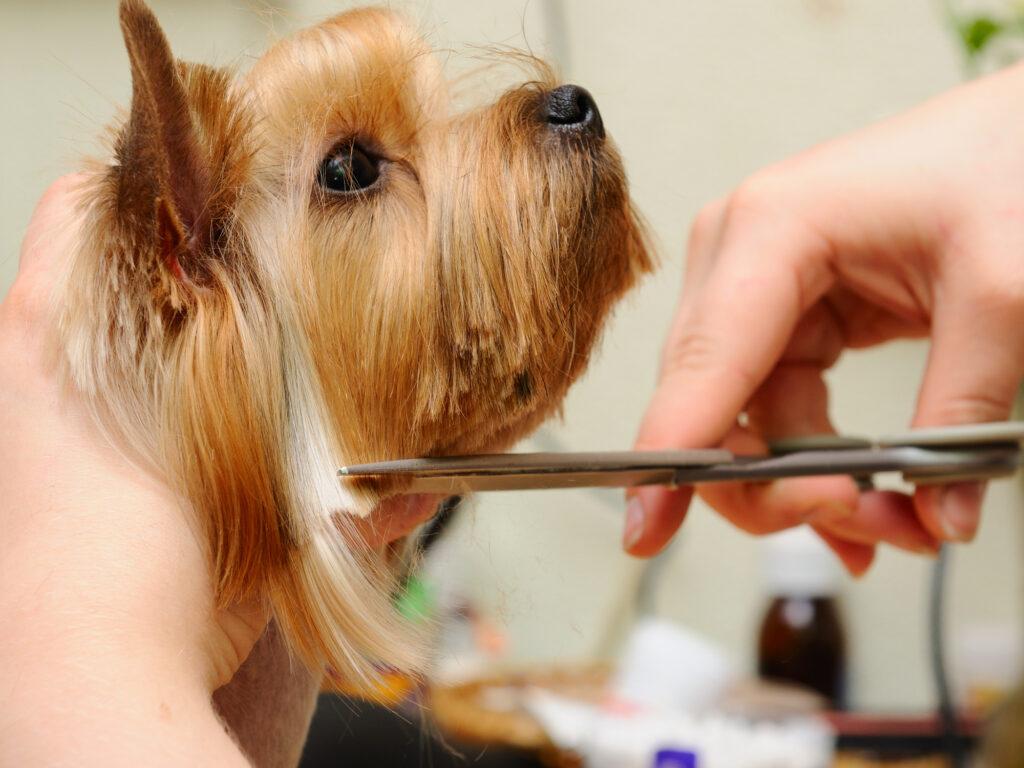 Dog Getting His Hair Cut
